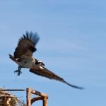 Fisherman Osprey
